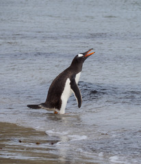 Wading Gentoo Penguin braying or vocalizing with its beak open and orange tongue showing.