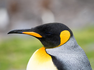 Close Up of King Penguin with Rain Drops on its feathers.