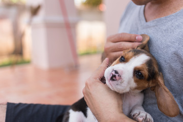 man holding puppy beagle