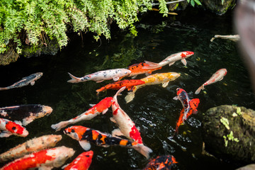 Colorful fancy carp fish or koi fish are swimming. Koi Fish swimming in the pond.  Water is clear black and reflection of light. Top view with copy space.