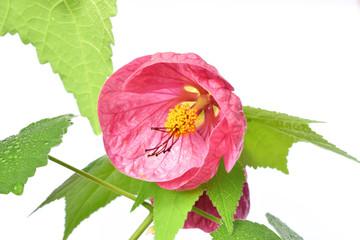 Цветок абутилона, комнатный клен