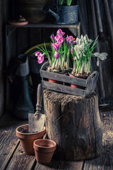 Closeup of repotting a blue hyacinth in wooden box