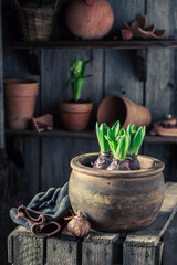 Spring and young flowers with red clay pots
