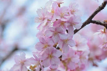Macro texture of Japanese Pink Cherry Blossoms