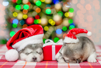 two puppies in christmas hats lie with a gift on a background of the Christmas tree