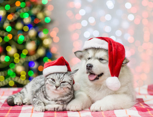 Tabby cat and alaskan malamute puppy in red christmas hats on a background of the Christmas tree