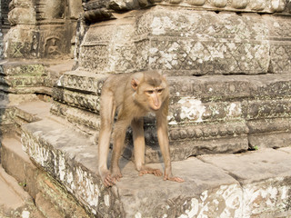 Monkey in Angkor Wat, Cambodia