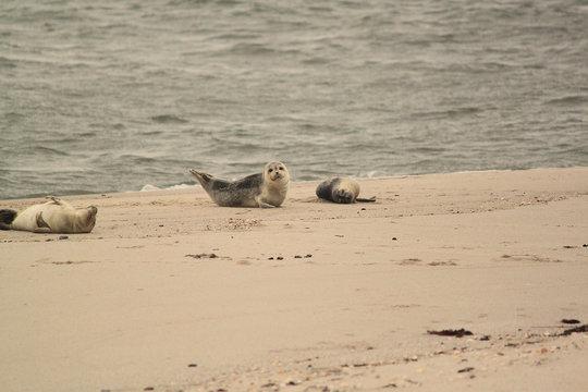 Kegelrobbe Robbe Seehund Strand Sylt Ellenbogen grau Nebel