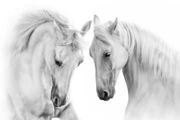 Tuinposter Paarden Couple of white horse on white background