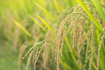 Ears of rice in field, close up