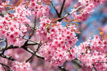 Pink wild himalayan cherry, wild sakura flower, Prunus Cerasoides tree in Thailand.