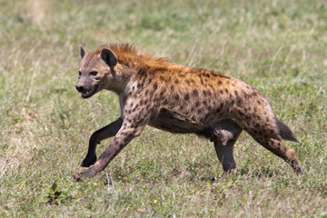 Running spotted hyena in the Serengeti National Park in Tanzania