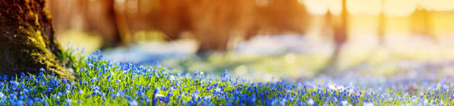 Panoramic view to spring flowers in the park. Scilla blossom on beautiful morning with sunlight in the forest in april