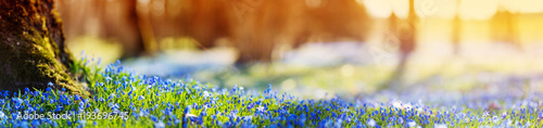 Wall mural Panoramic view to spring flowers in the park. Scilla blossom on beautiful morning with sunlight in the forest in april