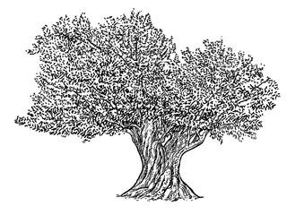 Olive tree illustration, drawing, engraving, ink, line art, vector