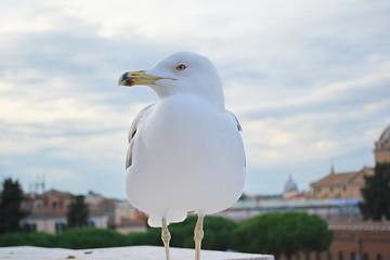 Gull grande