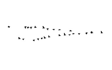 Greater white-fronted goose wedge in flight. Vector silhouette a flock of birds