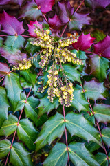 Oregon Grape Holly Background