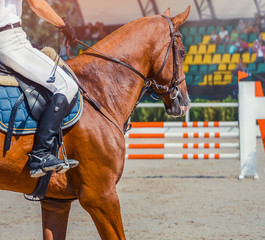 Man in white uniform and sorrel horse at show jumping competition. Equestrian sport background. Dressage horse during equestrian showjumping.