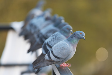 Pigeons in a row on a pole