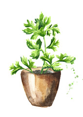 Kitchen herbs in a pots. Cilantro plant. Watercolor hand drawn illustration, isolated on white background