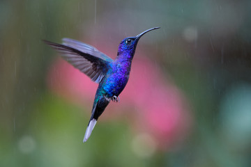 Close up blue hummingbird, Campylopterus hemileucurus, glittering Violet Sabrewing hovering in the rain against abstract, colorful, pink and green background with rain tracks. Rainforest, Costa Rica.