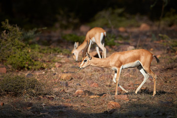Chinkara, Gazella bennettii, also known as the Indian gazelle, native to Iran, Afganistan, Pakistan and India, male and female, pair lit by afternoon sun against dark jungle, Ranthambore, India