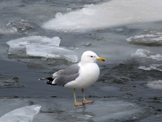 Seagull on the ice floe