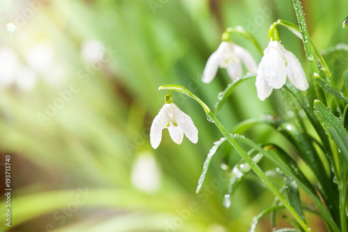 Wall mural Green Spring Snowdrops Flowers with Water Drops in Gadern