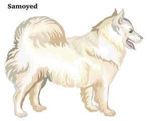 Colored decorative standing portrait of dog Samoyed vector illustration