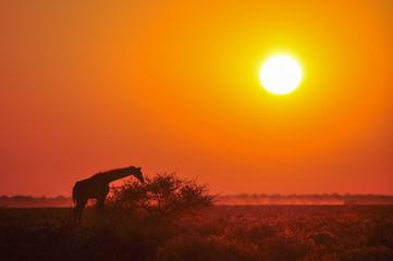 Wild giraffe on sunset in African savannah