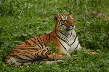 The Bengal tiger taking rest in grass land during afternoon, almost sleepy mood.