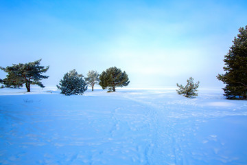 Pines covered with hoarfrost on the snowy shore of the Gulf of Finland