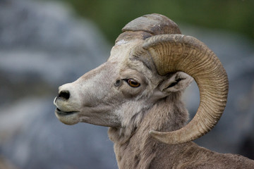 A cute bighorn sheep that was roaming around near Going to the Sun Road in Glacier National Park, Montana.