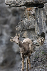 A few young bighorn sheep curiously watching us from around the corner of a rock. This photo was taken along Going to the Sun Road in Glacier National Park.