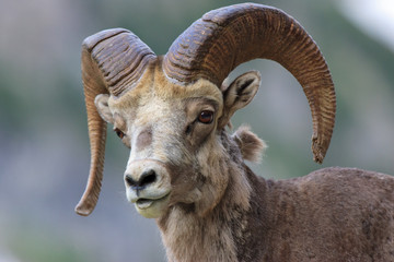 A close shot of a bighorn sheep looking towards the camera in Glacier National Park.