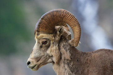 A close shot of a bighorn sheep that is shedding during spring at Glacier National Park.