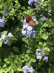 Butterfly on purple flowers2