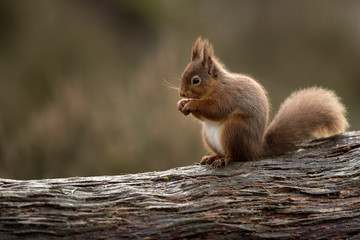 Photo sur Aluminium Squirrel Red squirrel perched on a side on eating a hazelnut with muted green and brown background.