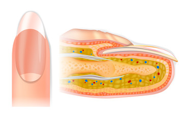 Human cross-section finger structure. The Anatomy of a Finger and Nail