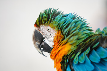 A colorful macaw ruffling it's feathers.