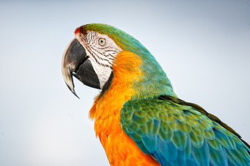 A portrait of a colorful Macaw taken in the Bahamas on Farmer's Cay.