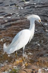 Fototapete - Egret in Brazos Bend State Park
