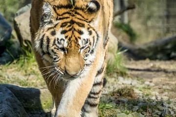 Close-up of Siberian Tiger