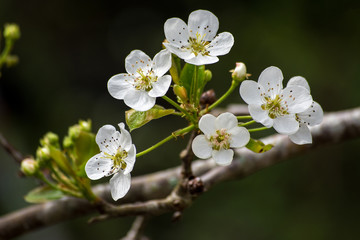 Spring white pear tree flowers and buds on dark background