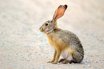 An alert scrub hare (Lepus saxatilis) sitting upright, South Africa .