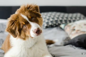 Curious puppy of australian shepherd sitting on bed