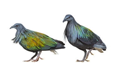 Nicobar Pigeon isolated on white background