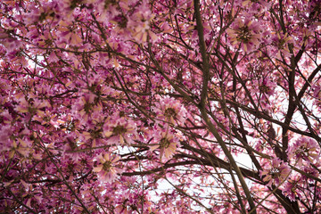 Close up of pink blossoms on a tree