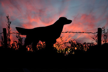 Majestic Hunting Dog in the Field Sill Hunting as the Sun Goes Down.